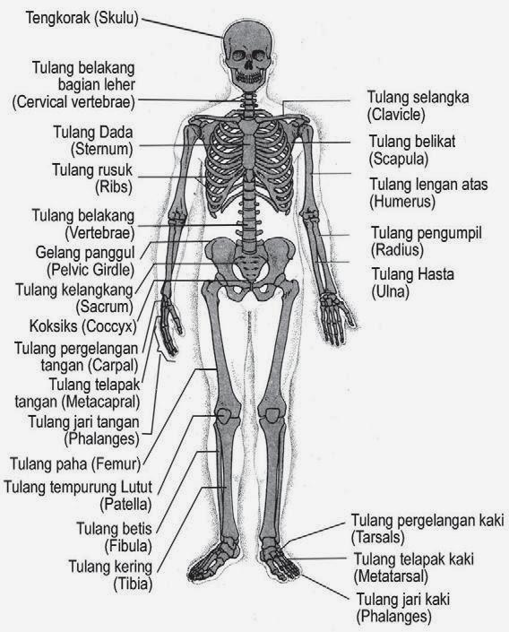 Kerangka Tubuh Manusia dan Fungsinya ~ Welda Aprilia's Blog