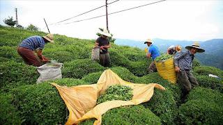 تركيا تصدر الشاي إلى 110 بلدان في 2019