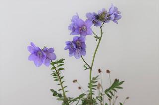 ヒダカハナシノブ 野の花のアップ