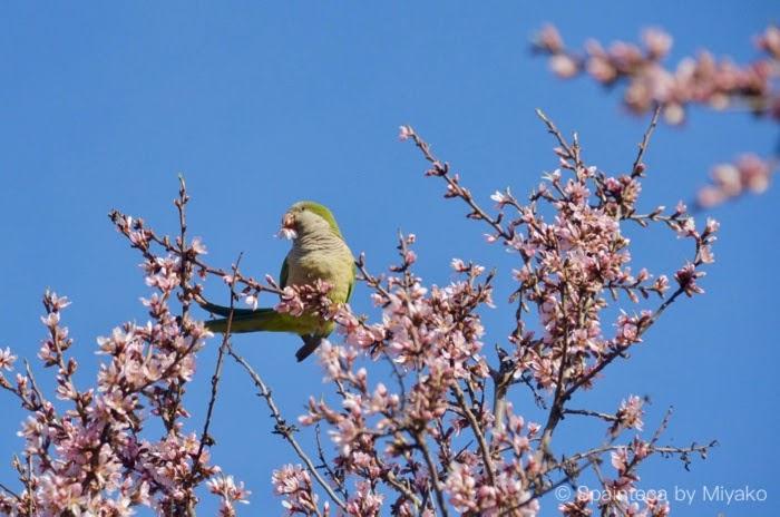 アーモンドの花をつつく緑の鳥