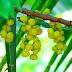 Indian Gooseberry Juice - आवळ्याचे सरबत