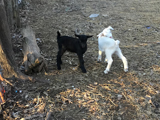 baby goats, birth of a baby goat, Saanen goats,, spring on the homestead