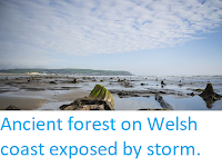 https://sciencythoughts.blogspot.com/2019/05/ancient-forest-on-welsh-coast-exposed.html