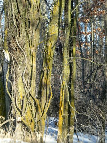 vines climbing a tree