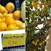Ελληνικά λεμόνια σαπίζουν στα Δέντρα και εμείς εισάγουμε τουρκικά..