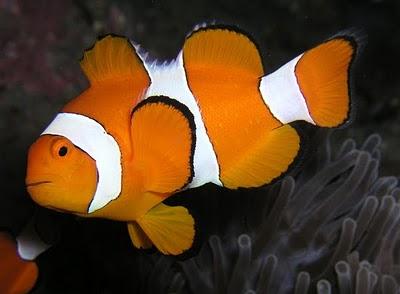 Binatang Berwarna Unik ( Clownfish )