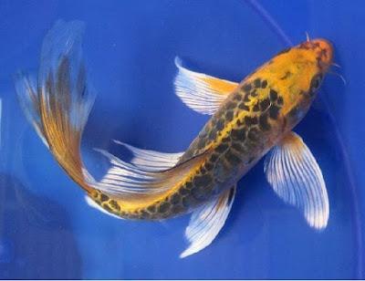 Ikan Kumpai