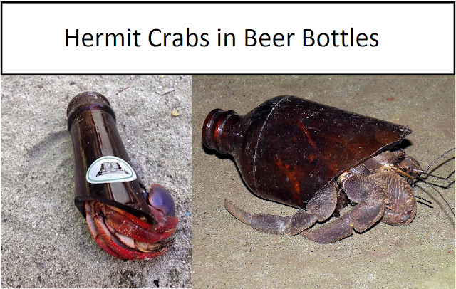 Hermit Crab Wearing Beer Bottles