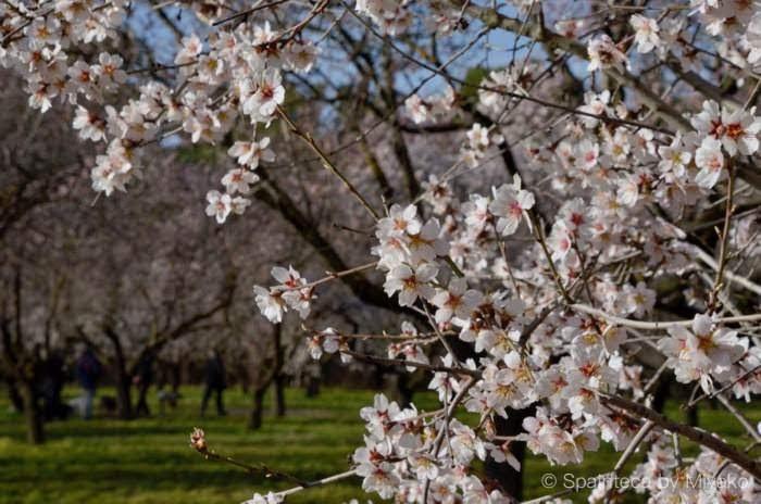 Quinta de los Molinos 日本の桜にそっくりなスペインのアーモンドの花