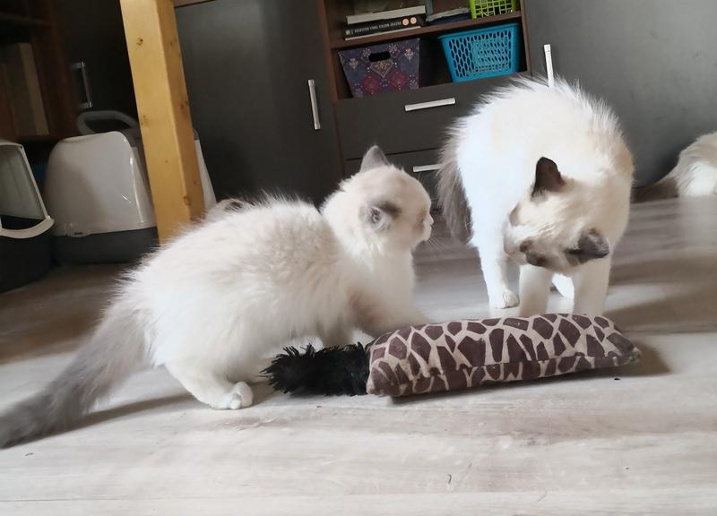 kot z hodowli, kocię, kiedy odebrać kocię, ile kocię musi być z matką, młode kocię, opieka kocię, kot behawior, kot problem, kocię gryzie, kot gryzie, kocię kuweta, koci behawiorysta, hodowla kotów, hodowanie kotów, pierwotna socjalizacja kota