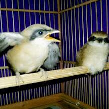 Cara Melatih Burung Cendet Trotolan Supaya Memiliki Mental Bagus