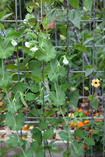 garden, autumn, October, Snap Peas, Black Eyed Susan Vine, Anne Butera, My Giant Strawberry