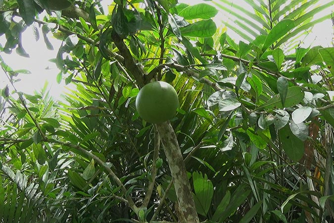 Dlium Calabash tree (Crescentia cujete)