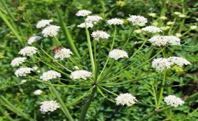hemlock-Water-Dropwort-plant-fact
