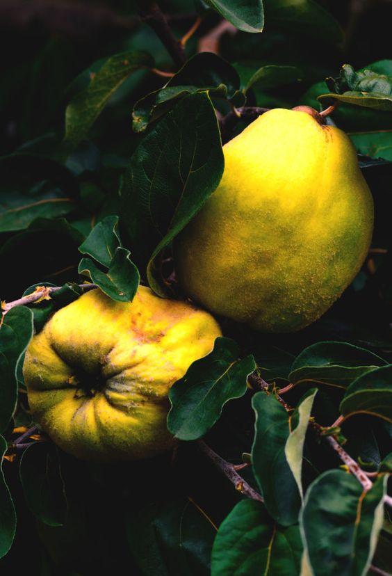 Κυδώνια, τα χρυσά μήλα των Εσπερίδων (Κυδωνέα η προμήκης -Cydonia oblonga)