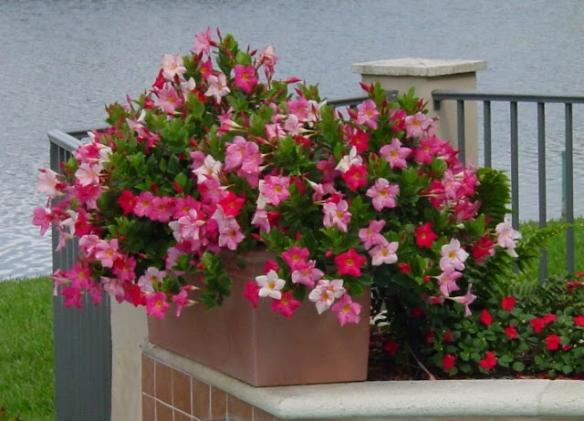Tanaman Hias Bunga Outdoor