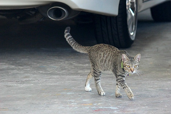 phuket cats