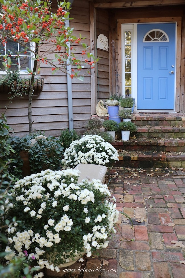 Fall Front Entry Garden With White Chrysanthemums along vintage brick walkway and front porch with blue front door