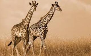 जंगली प्राणी जिराफ माहिती ▷ some facts about giraffe in hindi