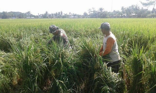 Bersama Petani, Pelda Sayuti Memanen Padi di Desa Sipare-pare