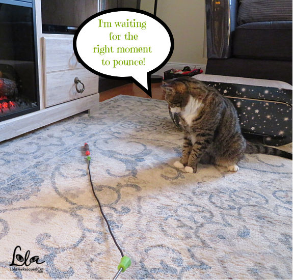 Tabby Cat with Jackson Galaxy Ground Prey Wand