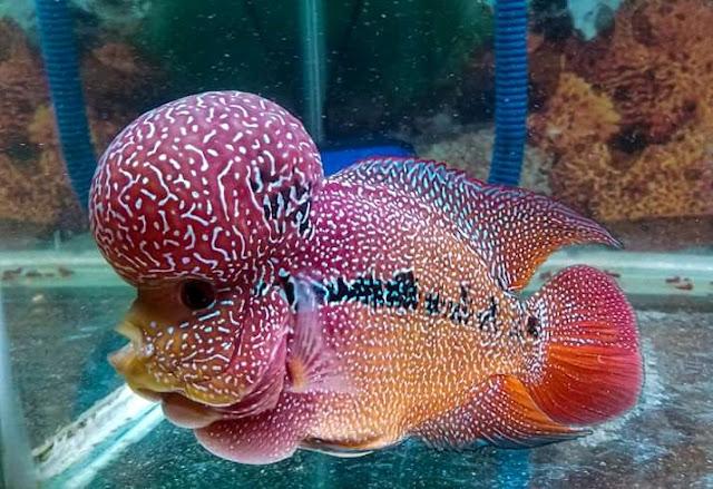 Rahasia Merawat Ikan Louhan Agar Jenong dan Berwarna Cerah