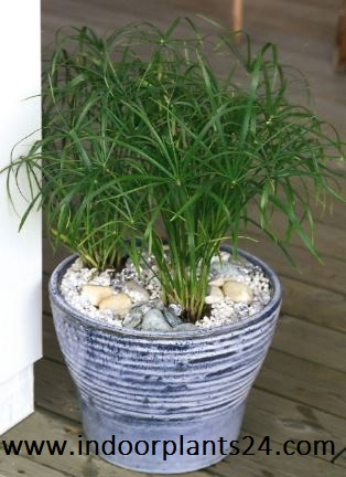 Davaillia Fejeensis indoor plant potted
