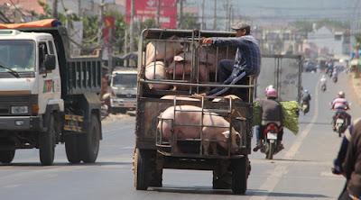Cơ quan quản lý bác bỏ lý do chi phí vận chuyển khiến giá thịt heo ra thị trường tăng cao. Ảnh: Phước Tuấn