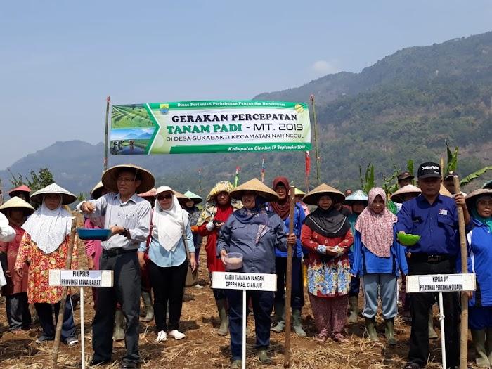 Petani Sukabakti Cianjur Jadi Percontohan Tanam Padi Saat Kemarau