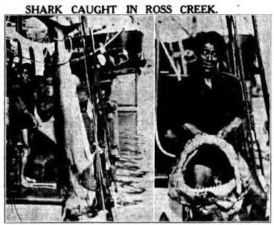 A 4-metre shark caught one week after a fatal shark attack in Ross Creek. (Townsville Daily Bulletin, 22 May 1937)