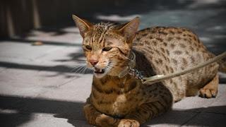harga Kucing Ashera