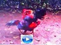 Video Ayam Bangkok