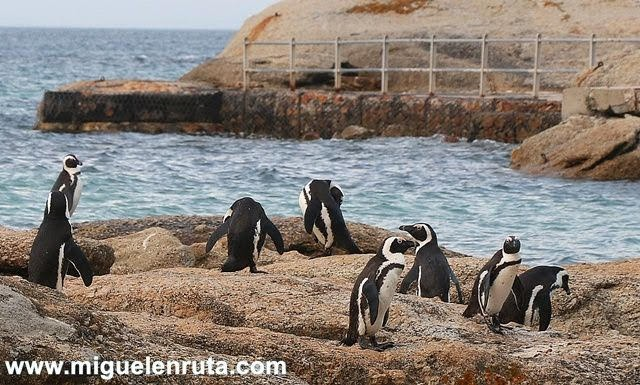 Pingüinos-Seaforth-Beach