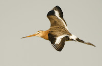 Black-tailed godwit in flight  Uitkerkse Polders, Belgium (public domain)