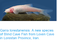 https://sciencythoughts.blogspot.com/2016/05/garra-lorestanensis-new-species-of.html