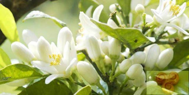 avis Fleur d'Oranger & Vanille de Cires Des Druides, blog bougie, blog parfum, blog beauté