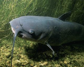 Jenis - Jenis Ikan Lele  Yang Dapat Dibudidayakan