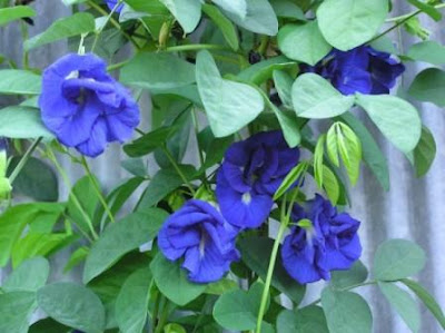 bunga telang biru