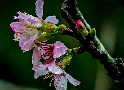 Wisata taman sakura cibodas, lokasi taman sakura, harga tiket masuk taman sakura, wisata hits di bogor
