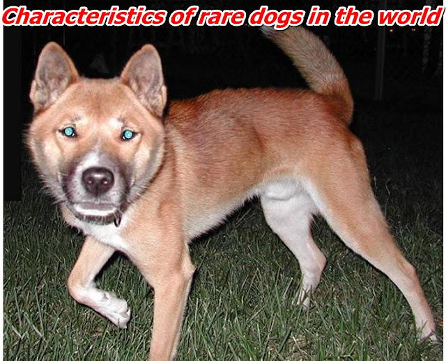 Characteristics of rare dogs in the world