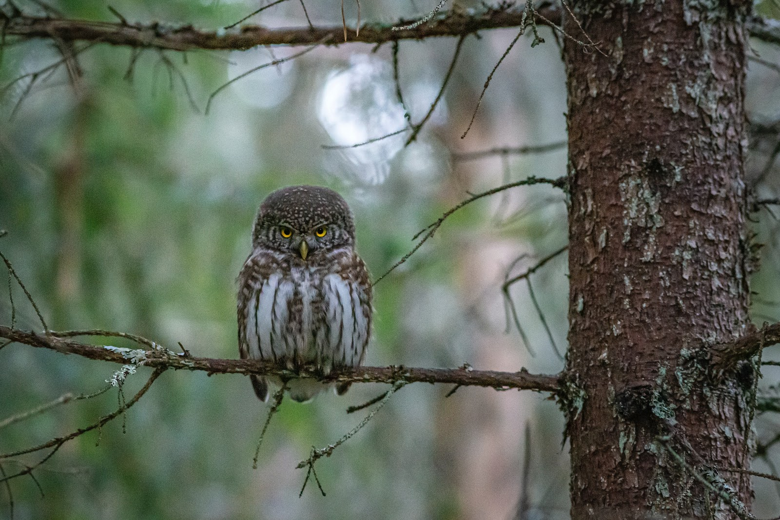 brown-owl-on-perched-on-brown-tree-branch-birds-images