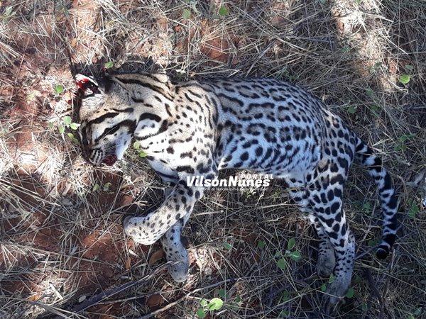 Palmas de Monte Alto-BA: Onça-pintada é encontrada morta na BA-263