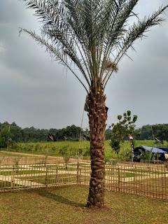 pohon-kurma-kampoeng-kurma