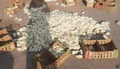 Poultry Farmer In Tears As Imo Taskforce Crush Hundreds Of Day-Old Chicks To Death (Photos)