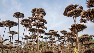 15 plantas especialmente atractivas por sus cabezas de semillas en otoño e invierno