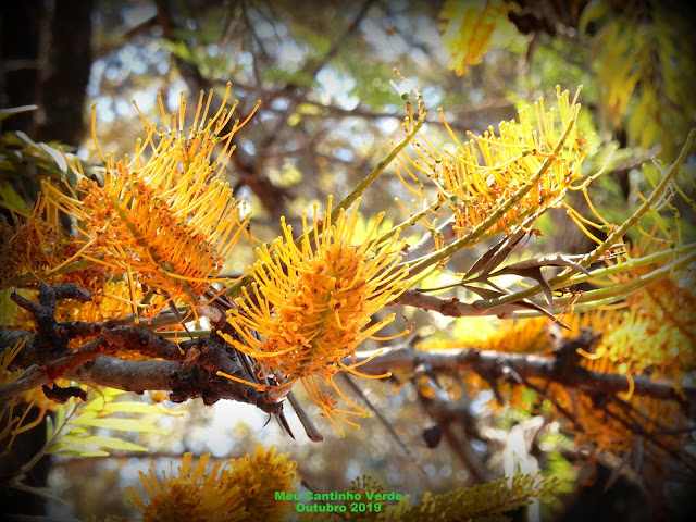 Flor da GREVÍLEA-ROBUSTA - ( Grevillea robusta )