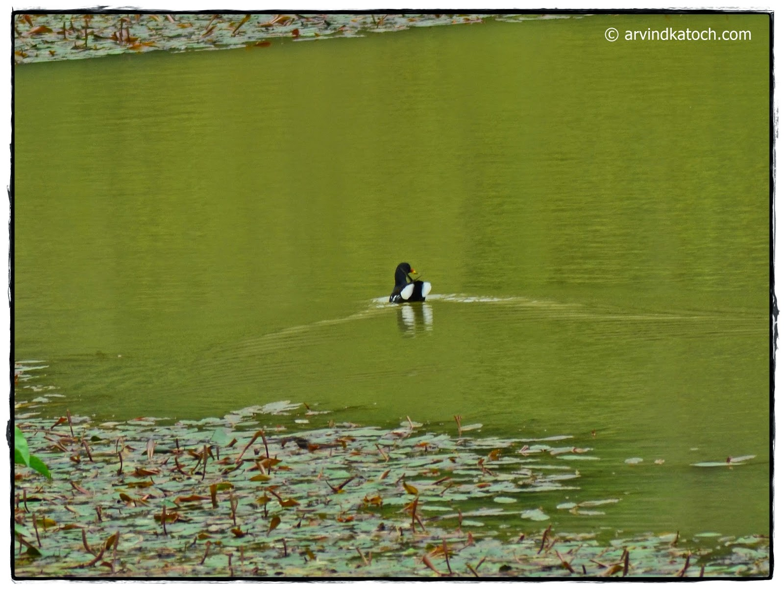 Common Moorhen, Moorhen,