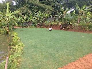 rumput babat atau golf
