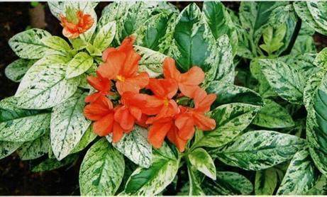 Crossandra jingga variegata