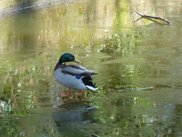 Coalport Canal Duck